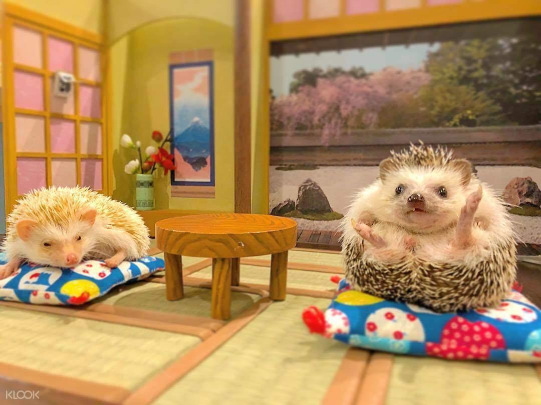 萌宠们打造许多间精致的袖珍娃娃屋,让刺猬们拥有舒适温馨的可爱小窝.